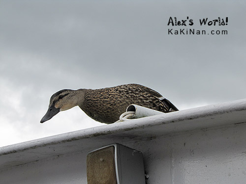 Duck on boat during our Loch Ness boat ride